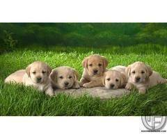Labrador Retriever for all pet lovers