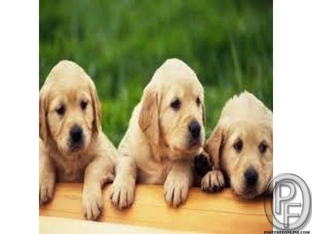 Labrador Retriever for all pet lovers in Indore, Madhya Pradesh