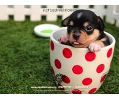DOGS FOR FAMILY AVAILABLE ONLY WITH PET DESTINATION +918767777789