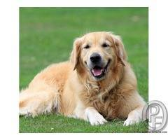 Golden retriever puppies available with pet destination call 9699999338