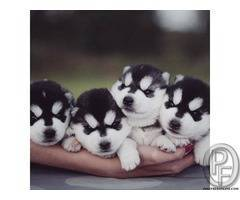 Husky puppies available | puppies are well kept and in a very healthy