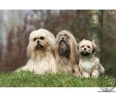 Lhasa Apso cute puppies with great temperament | interior sentinel dog breed