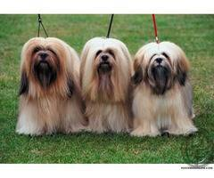 Want to Buy Lhasa Apso get it from Pet Destination
