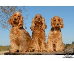 Cocker Spaniel dog real companion | easily trained, gentle, and playful