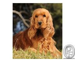 Well breed Cocker Spaniel | sweet temperament, affectionate and cuddly