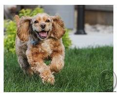 English Cocker Spaniel puppies | breed with a great deal of stamina