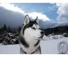 Best Siberian husky available with us