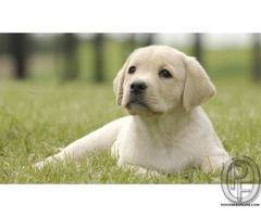 Are you the one who is looking to buy Labrador dog puppy