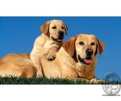 Labrador beautiful dog puppies with great temperament