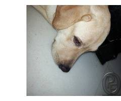 10 months old male labrador retriever available for adoption