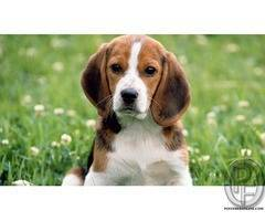 Beagle dog puppies available with us