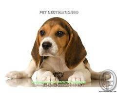 Are You planing of Adding a Beagle to Your Family? By PET DESTINATION 8767777789
