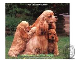 Why you should have COCKER SPANIEL female  By PET DESTINATION 8767777789