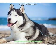 FIRST TIME PET OWNER ? MUST HAVE SIBERIAN HUSKY  By PET DESTINATION 8767777789