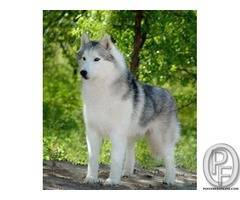 3 Month old Siberian husky puppies available