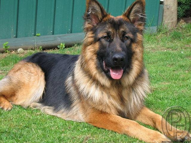 German Shepherd Dog Puppy Available Mumbai Postfreeonline Com Best Classified Ad Posting Web Site And Portal