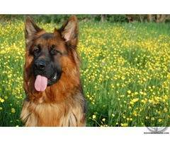 GSD dog puppy for sale