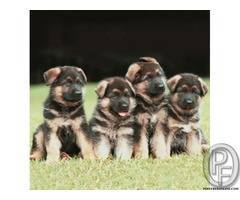 German shepherd puppies are available | temperament and behaviour