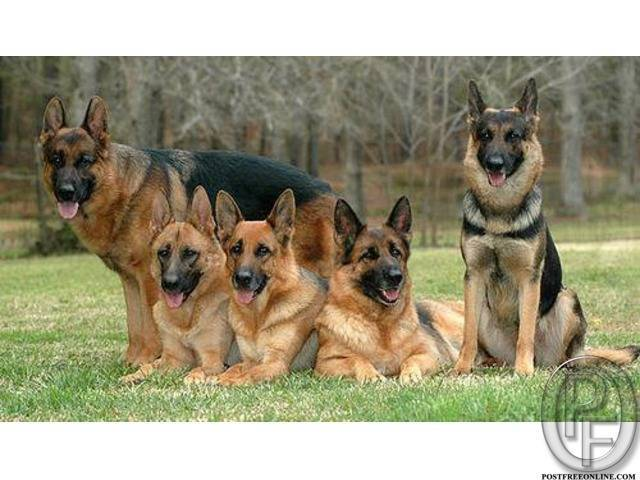 German shepherd puppies are available | temperament and