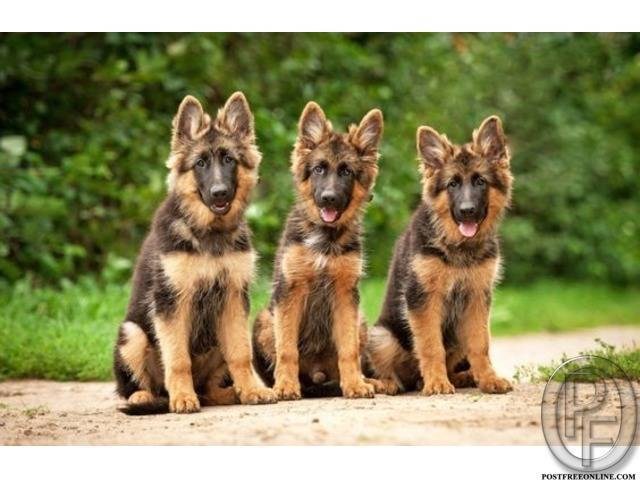 German shepherd puppies are available | temperament and behaviour in