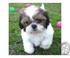 Best Small breed to have are Shih Tzu
