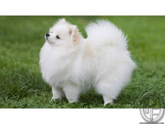 Pomeranian dog puppy available   Perky, friendly little dogs in