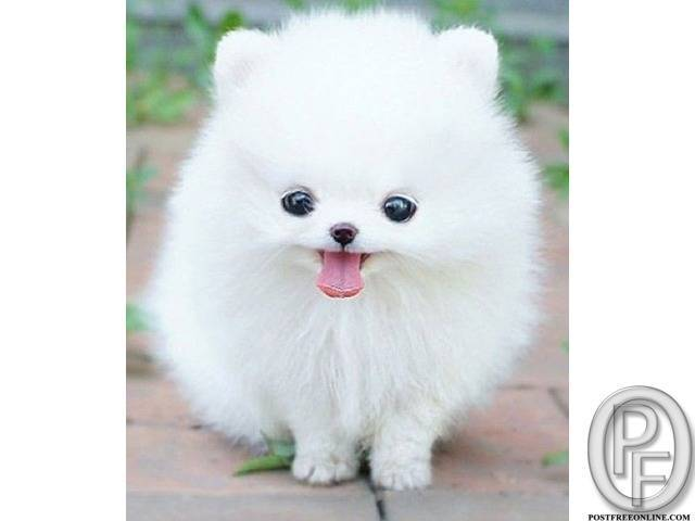 Looking for small Pomeranian dog puppy in Mumbai, Maharashtra, India