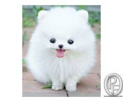 Looking for small Pomeranian dog puppy