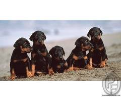 Doberman puppies available at best quality