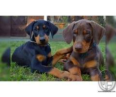 Are you looking for doberman dog puppies