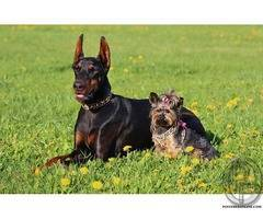 Wanted to have Doberman Pinscher pups
