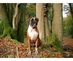 Boxer puppies available | Being loyal family pets