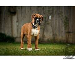 Looking for boxer puppies