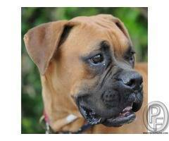 Are you looking for boxer puppies then you are right place