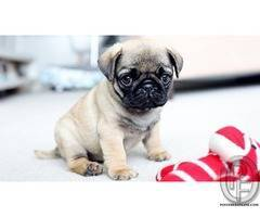 Wanted to take pug puppies | wrinkly, short-muzzled face, and curled tail