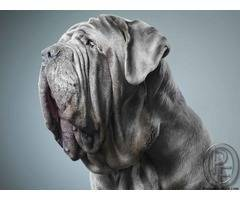 Neapolitan Mastiff is not a breed for everyone