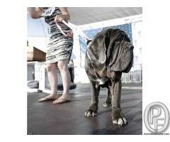 Nepolian Mastiff available | This is a natural guard dog