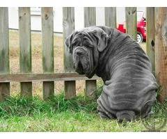 Things to Know About Neapolitan Mastiffs