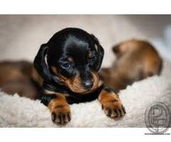 Dachshund puppies available | the most honest dog breed