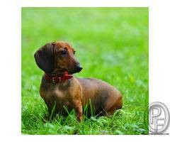 Do you want to take Dachshund puppies