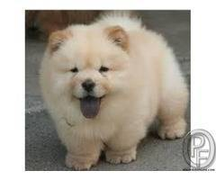 Healthy Chow Chow  Pup