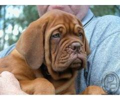 French mastiff Pup are available
