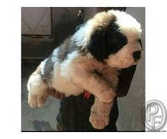 Healthy and Pure breed Saint Bernard Pup