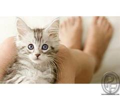 Cats Cats and cats | All type of cats available for sale