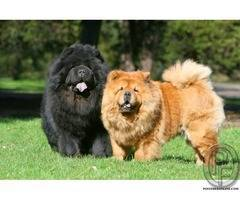 Chao chao dog breed available