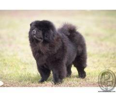 Black Chao Chao dog availabe with us