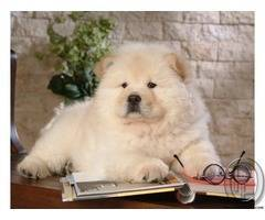 Chao Chao is most adorable dog breed to have
