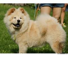 Want to have Chow Chow dog - Know about Temperament & Personality