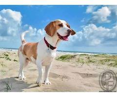 Learn About The Beagle Dog Breed From Market expert