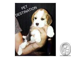 Get a beagle puppy or dog